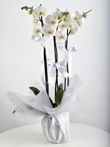 beyaz orkide bahçesi