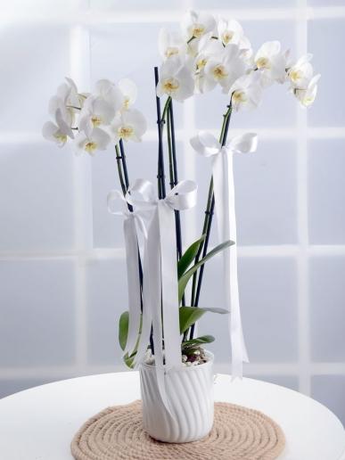 muhteşem beyaz orkide