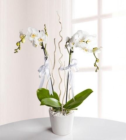 2 Dallı Beyaz Orkide