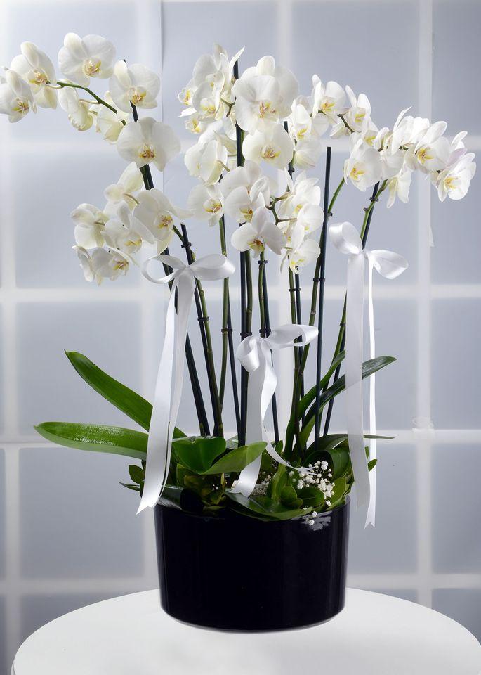 VIP beyaz orkide bahçesi