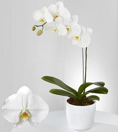 yurt dışı orkide gönder