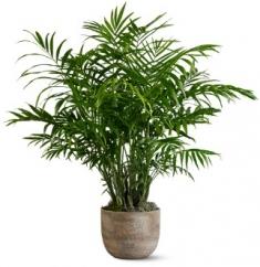 areka saksı bitkisi
