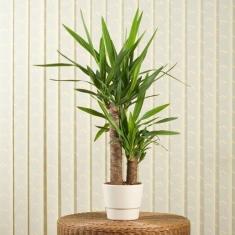 Tropik Güzel Yucca Çiçeği