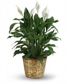 saksıda Spatifilyum Bitkisi