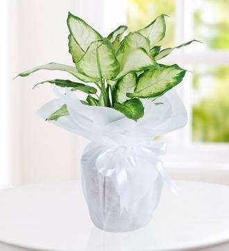 Diffenbahya Saksı Çiçeği