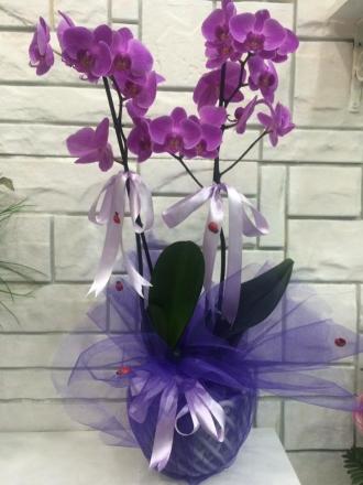 2'li Lila Orkide
